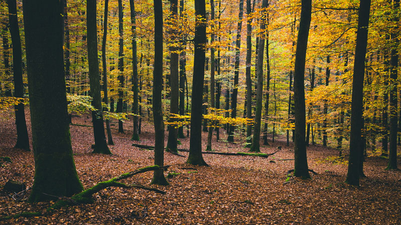 Ancient trees with leafy woodland floor by Francesco Gallarotti